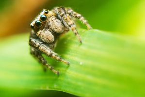 Jumping spider II by mprox