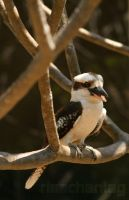 Photography: Kookaburra by Risachantag