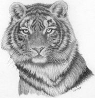 Tigress -pencil by LisaCrowBurke