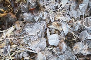 SMD Free Texture 17: Frost Leaves by Spicy-Monster