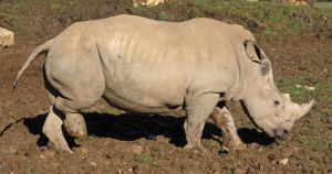 Rhino 01 by LydiardWildlife