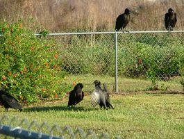 Vultures 054 by TheGreatWiseAss