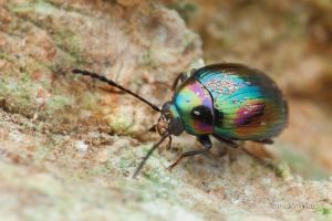 'Oil Spill' Beetle with mites by melvynyeo
