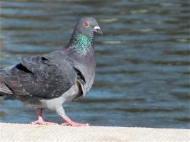 Pigeon, DC by sanglante-melodie
