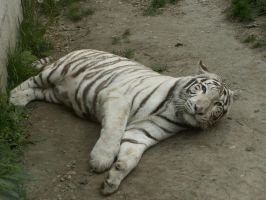 White Tiger 01 by animalphotos