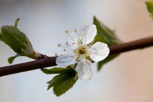 Spring on a Branch by Amalphi