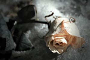 Rose by anylife