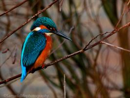Eurasian Kingfisher 2 by Sam2103