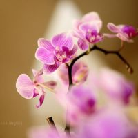 Orchid by kiscso