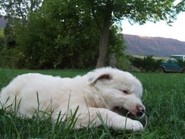 White Border Collie 12 :Stock: by WesternStock