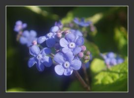 Forget me not .... by MC-blue