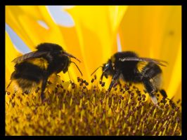 Bees on Sunflower by Sagereid