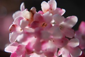 Touch of softest pink by RowanLewgalon