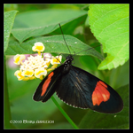 Butterfly black n red by Mogrianne