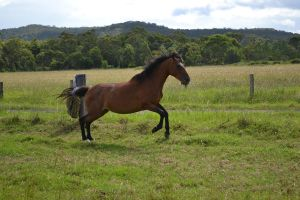 Bay roaning Stockhorse mare5 by Tobiteus