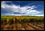 Sea of Grape Vines by ernieleo