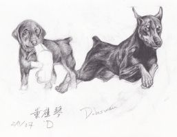 Doberman Study by Red-Red-Panda