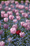 Tulips at Filoli by shagie