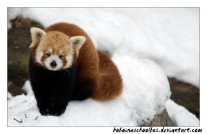 Peaceful Red Panda by hoboinaschoolbus