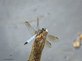 Dragonfly 7 by Mogrianne