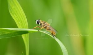diptera by dianapple