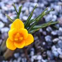 Yellow Crocus by Arctida