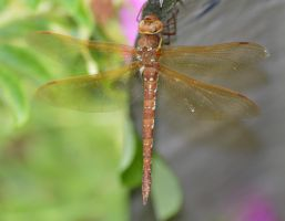 Shropshire damsels and dragons 2 1 by melrissbrook