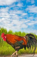 Rooster by brijome