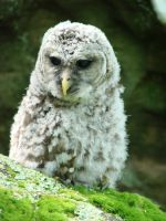 Baby Owl by Rocheron