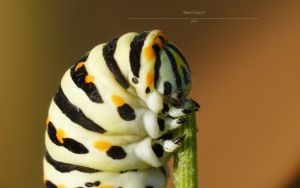 Papilio machaon face by Metkan
