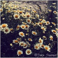 Daisies Bloom Along the Stream by Deja-Vu-Afterglow