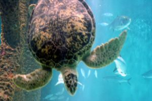 Sea Turtle 4 by cynstock