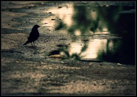 Black-bird. by pleautaud