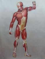 Anatomia muscular  humana 2 by CaymArtworks