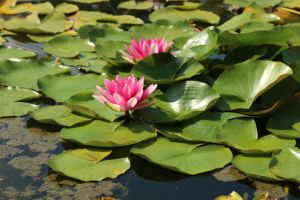 Water lily Stock 17 by Malleni-Stock