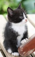 Black And White Kitten 06 by Frozenbullet