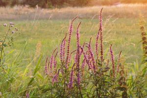 Purple loosestrife by rosaarvensis