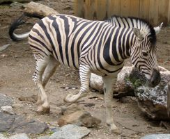 Zebra Stock 1 by anbdstock