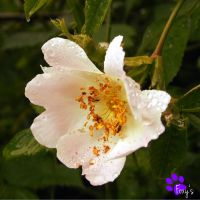 Dog Rose 006 (22.06.13) by LacedShadowDiamond