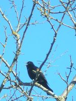 Red Winged Black Bird 1 by otakuhobbit