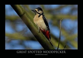Great spotted Woodpecker.1 by THEDOC4