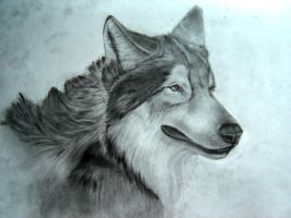 Wolf by sithness