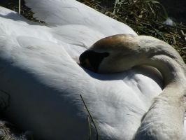 female Swan, second picture by Heatphones