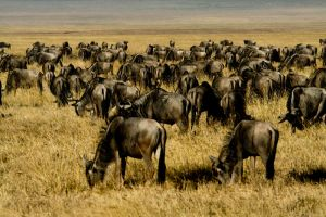Wildebeests in Tanzania by Zineb