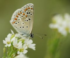 Aricia agestis.14 by amensis