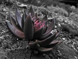 the black lotus by crazyken517