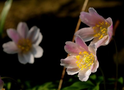 Anemone I by Althytrion