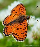 The Orange Butterfly by Stefano-Coltelli