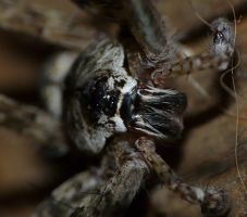 Dolomedes albineus.,up close by duggiehoo