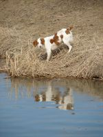 Brittany Dog Reflection 2 by FantasyStock